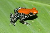 Red backed poison dart frog