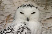 stock photo of hedwig  - Snowy Owl  - JPG
