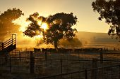 image of early morning  - Cattle in the yard at sunrise with sun coming through a tree behind them - JPG