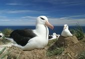 picture of albatross  - Black browed albatross  - JPG