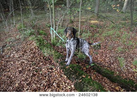 Dog On A Leash In Forest