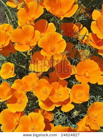 Orange Eschscholzia (eschscholzia Californica) -flower Background