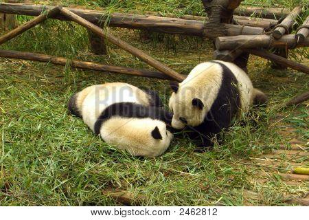 Panda Frolicking