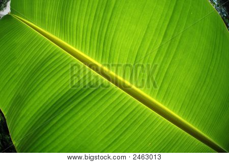 Big And Green Banana Leaf In The Parks