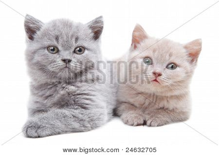 Two British Kittens