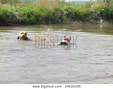 Dogs playing in the water