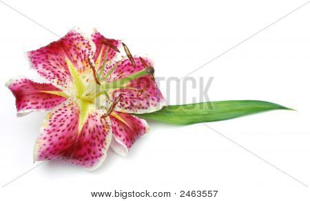 Stargazer Lilly On White Background