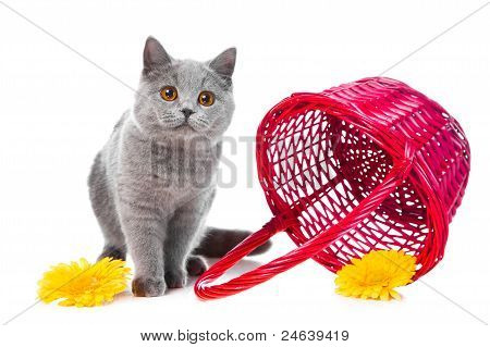 British Blue Kitten With Pink Basket On Isolated White