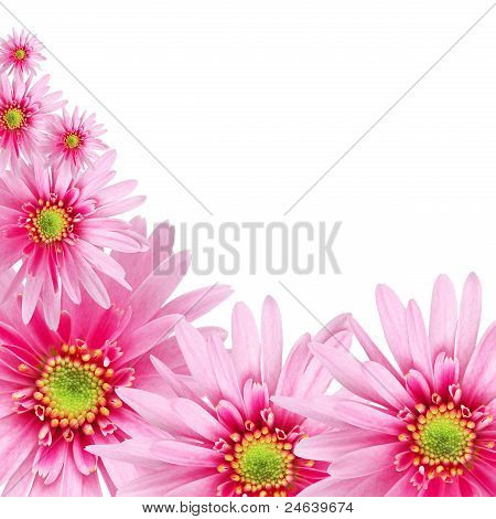 sweet pink daisy on white isolated background.