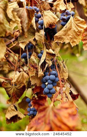 Blue Grapes On A Vine, Closeup