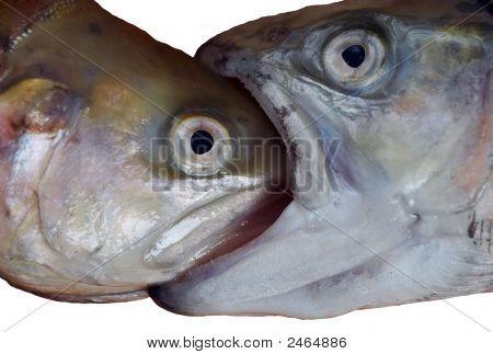 Big Fish comer peces pequeños