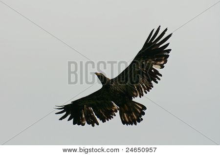Juvenile Bald Eagle Flying