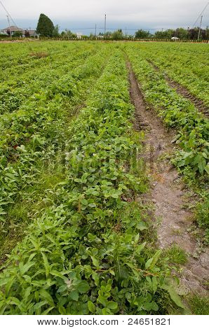 Rows Of Crops Growing