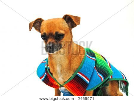 Chihuahua In A Poncho