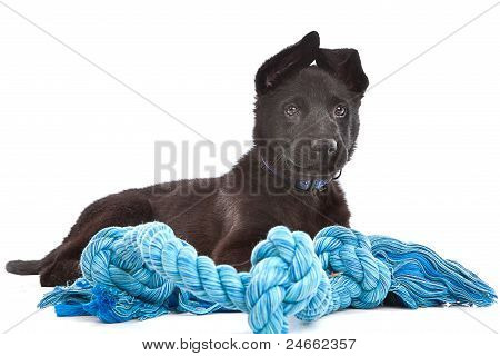 Black Shepherd Puppy Dog With A Blue Toy Rope
