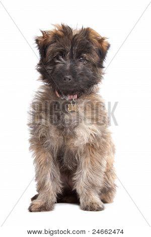 Pyrenean Shepherd Puppy
