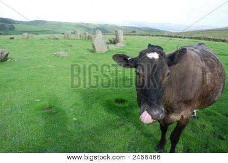 Black Cow Licking Nostril In Stone Circle, England