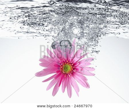sweet pink daisy in the water