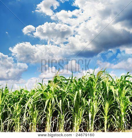 Campo de maíz verde hermoso