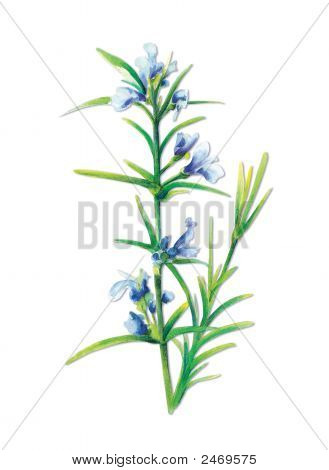 Sage Salvia Officinalis With Paths