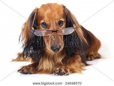 Longhair dachshund wearing glasses