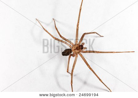 Brown Recluse Spider(Loxosceles reclusa)