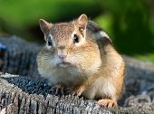 Puffy Cheeked Chipmunk