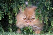 The Persian Cat Is One Of The Oldest And Most Popular Breed Cats. poster
