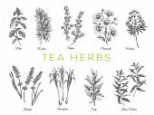Beautiful Vector Hand Drawn Tea Herbs Illustrations. Detailed Retro Style Images. Vintage Sketch Ele poster