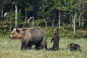Mother Bear Protects Her Three Little Puppies In The Finnish Taiga, Matte Style poster