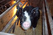 stock photo of farrow  - A Berkshire sow in a farrowing crate awaiting farrowing time - JPG