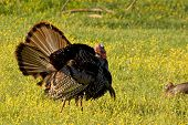 Strutting Wild Turkey