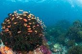stock photo of raja  - The view of fairy basslets around a tree soft coral on a reef Raja Ampat Indonesia - JPG