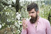 Enjoy Spring Time. Bearded Man Smell Cherry Blossom. Man With Long Beard And Mustache On Serious Fac poster