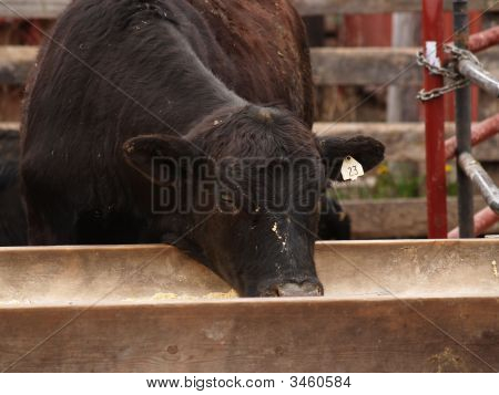 Brown Cow Having A Mid-Day Snack