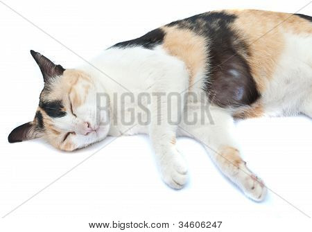 Sleeping Cat, On White Background