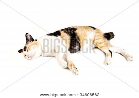 Old Cat Sleep On White Background