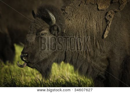 A large Bison sticking out his tongue