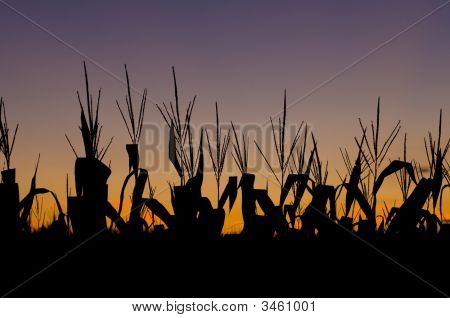 Corn Field At Sunset