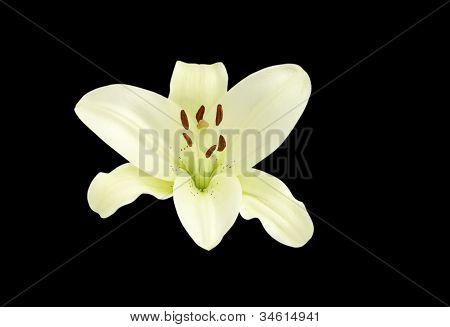 Beautiful Madonna lily on black