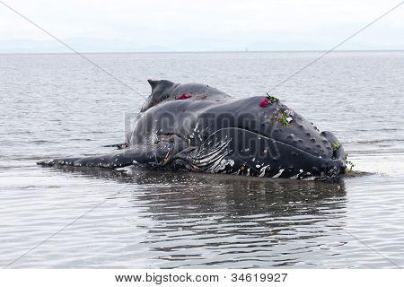 La ballena jorobada juvenil lava en tierra y murió