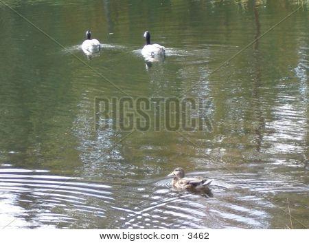 Goose, Goose, Duck