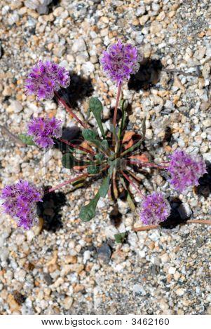 Desierto delicadas flores