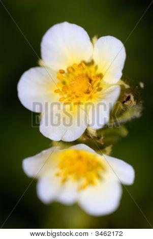 Delite White Wildflowers