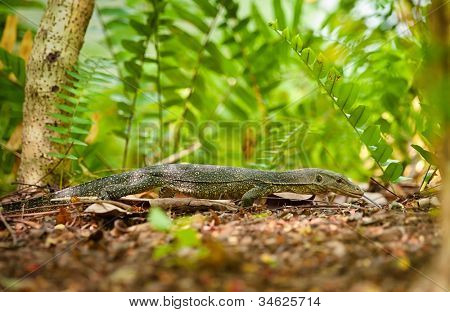 goanna lizard in undergrowth