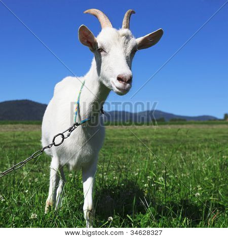 Goat looking at camera