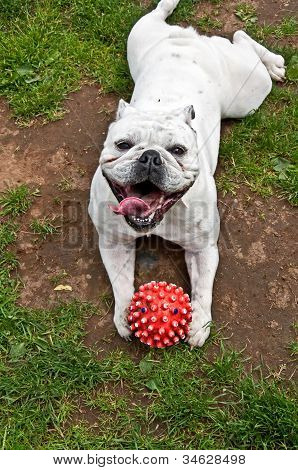White Bulldog Lying On Stomach With Red Ball