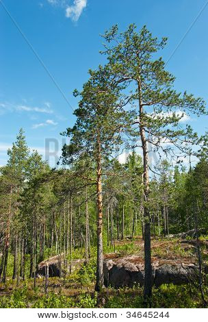 Pine Forest In Granite Rock
