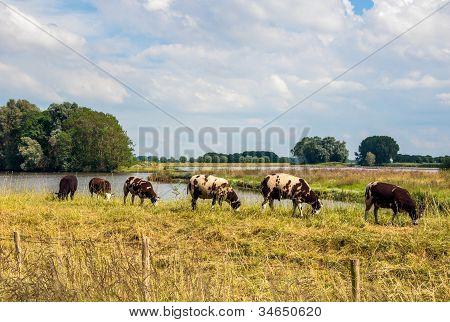 Brown Spotted Sheep Standing On A Dutch Dike