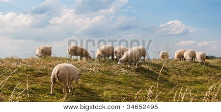 Sheep Grazing On A Dike In The Netherlands
